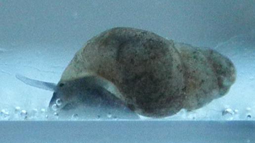 Bythinella austriaca